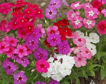 Annual Phlox Seed - Phlox,Mixed - White, Pink, Red and Purple Phlox drummondii