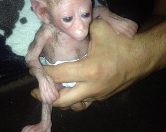 mini monkey Capuchin