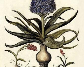 Hyacinth art Antique wall art flower art print botanical art print garden wall art flowers home decor art antique botanical prints Besler