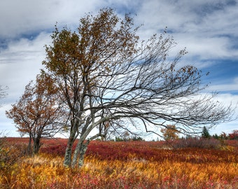 Windswept - Fine Art Landscape Photograph. Dolly Sods Photographic Print. Fall Colors.