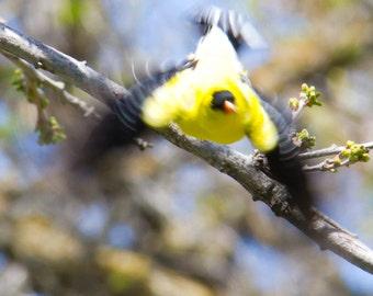 Abstract yellow bird Photograph, Bird taking flight, Nature Photography, Fine Art Photography