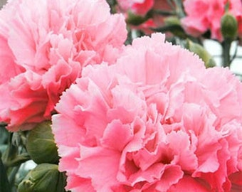 Carnations- Rose- 50  Seeds