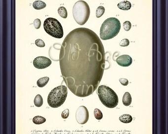 Antique bird nest eggs egg print 8x10 vintage botanical art for Egg tray wall hanging