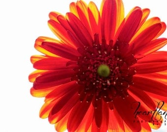 Red Daisy Print, Macro Photography, Red and Yellow, Flower Print, Daisy Photo, Red Home Decor, Bright Photography, Macro Image, Nature Photo