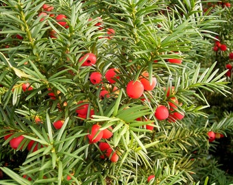 5 Taxus baccata Seeds, Common yew