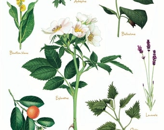 'Homeopathic plants' botanical Board