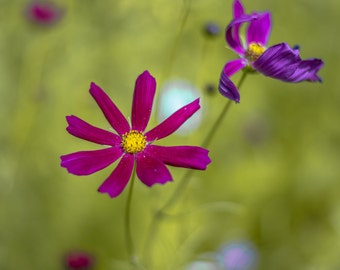 PANORAMIC Cosmos Flowers, Fine Art Kansas Photography by Pitts Photography