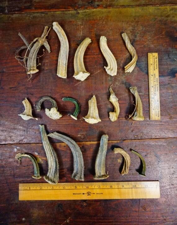 17 dried organic pumpkin stems craft velvet by for Pumpkin stems for crafts