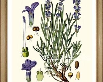 "Lavender Print. Lavender Flowers. Botanical Print. Purple Flowers. Lavender. 8x10"" 11x14"""