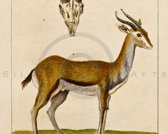 Vintage Gazelle Animal Illustration Printable 1800s Gazelles Antique Print Antelope Instant Download Clip Art Retro Drawing ZS