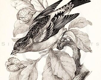 Vintage Mountain Finch Printable Bird Illustration 1800s Antique Print Digital Image Clip Art Retro Bird Drawing Instant Download Graphic ZS