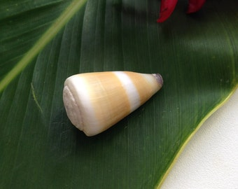 Hawaii Sea Shells Kauai Specimen Yellow Cone Gem of the Sea 37mm
