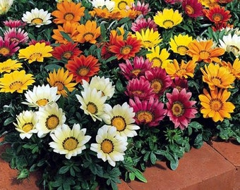Gazania Splendens Mix Flower Seeds (Gazania Splendens) 30+Seeds