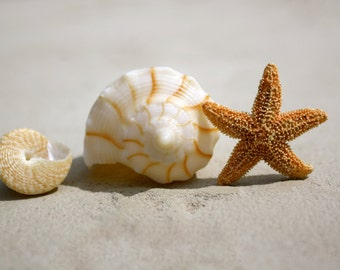 Starfish Trio of Shells photo