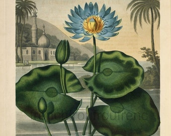 antique english botanical print blue egyptian water lily illustration DIGITAL DOWNLOAD