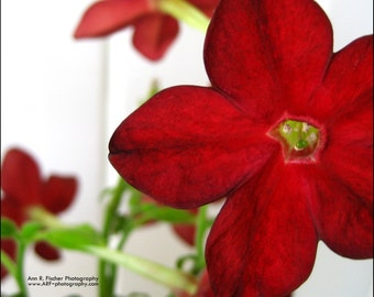 Red Flower Photo, Nature Photography, Nicotiana Tobacco Flower Photo