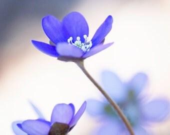 Digital download - anemone flower soft spring photography botanical art prints wall decor nature blue cream minimalistic modern