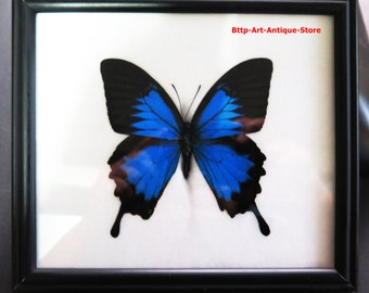 Collectible Single Rare Real Big Blue Papilio Ulysses Butterfly Display Framed Frame Taxidermy Insect Swallowtail Gift Mounted Entomology