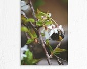 Nature Photography Spring Blossom and Bumble Bee Fine Art Photography Print