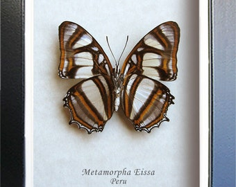 Butterfly From Peru Metamorpha Elissa Real In Museum Quality Shadowbox