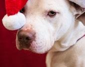 Here Comes Santa Claus, Dog Photo Print, Rescue Animal Photography, Dog Photography, White Mastiff Labrador, Santa Hat, Holiday Decor