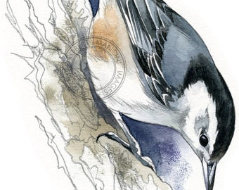 White-breasted Nuthatch - bird art, wildlife art - nature print of original artwork