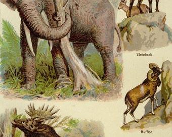"Matted Antique  Elephant / Animal Print C. 1900 Lithograph 11x14"" Moose Ram Goat"