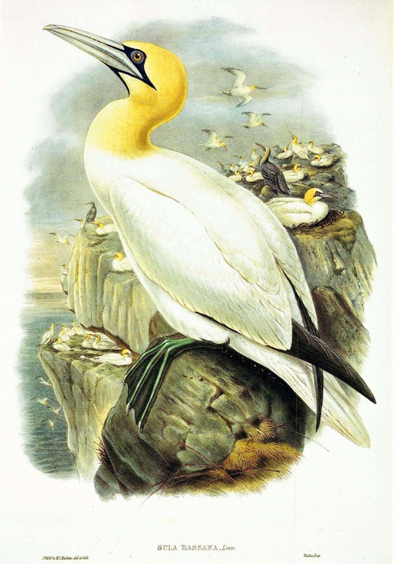 Large vintage bird print of Gannet, large sea bird, yellow feathered head, illustration by Wolf and Richter, matted, 11 x 14 inches