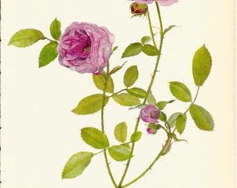 VINTAGE ROSE PRINT Pink Rose 1965 Botanical Print - Perfect Gift for Anniversary, Wedding, Birthday, Graduation, Christmas (Rose 7)