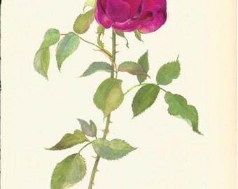 VINTAGE ROSE PRINT Pink Rose 1965 Botanical Print - Perfect Gift for Anniversary, Wedding, Birthday, Graduation, Christmas (Rose 18)