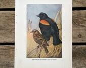 vintage 1930s Red-Winged Blackbird book illustration for framing