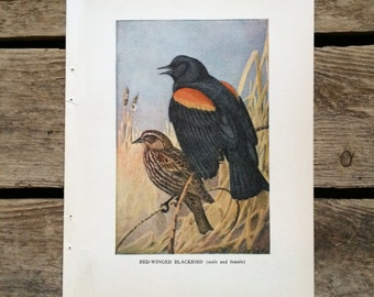 vintage 1930s Red-Winged Blackbird book illustration for framing