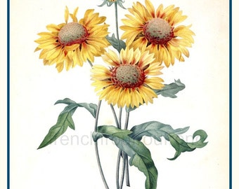antique french botanical illustration daisy marie gold rubberweed print DIGITAL DOWNLOAD