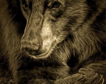 California Black Bear Juvenile Photo Image Unframed