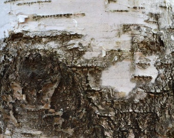 Birch tree photograph print, tree photography, birch tree wall decor, nature photography, home interior, rustic, birch tree wall hanging