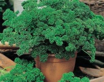 Parsley Seeds- Moss Green Curled- 1,000+ Seeds