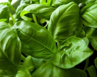 Basil Herb Seeds- Italian Large Leaf- 500+  Seeds