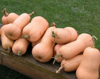 30+ Squash- Waltham Butternut- Heirloom