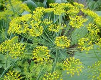 Dill Seeds, Organic Seed, Anethum Graveolens, Culinary Herb, Flower Essence Plant