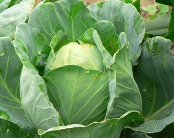 Early Jersey Wakefield Cabbage - 200 seeds (Organic/Non-GMO)