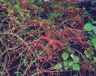 Fall Landscape, Berry Bush, Autumn, Outdoor Photography, Nature Photography, Fall