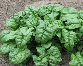 1,000 Seeds Spinach Seeds Giant Noble Seeds