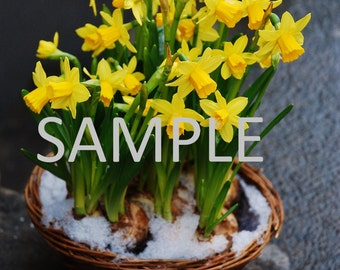 Set of 12 Daffodils photograph stationery note card (with envelope)