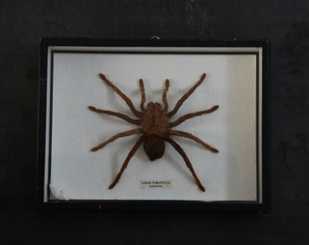 Large Tarantula from Malaysia, insect specimen preserved in the 60s, overall good condition for this vintage specimen and its frame.