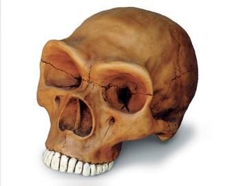 Neanderthal Cranium Replica Skull