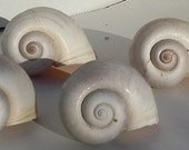 5 Large Snail Shells for Air Plants or Hermit Crabs or Crafts - Nautical and Coastal Home Decor