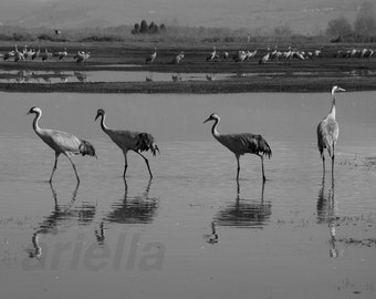 Black and white photography Cranes Bird Photography  Nature Photography unique gift home decor