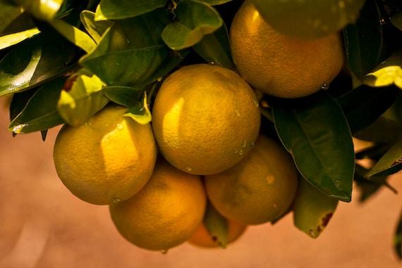 Sicilian Oranges  Archival Print