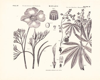 1894 Botany Print - Eschscholtzia Californica Janipha Manihot - Vintage Home Decor Plant Art Illustration Great for Framing 100 Years Old