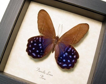 Real Framed Rare Purple Pierella Lena Butterfly Shadowbox Display 177